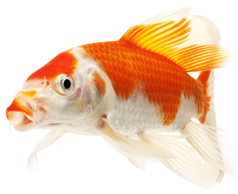 נעים במים חווה לגידול דגי נוי דג קוי
