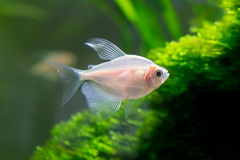 נעים-במים-דגי-נוי-מים-מתוקים10