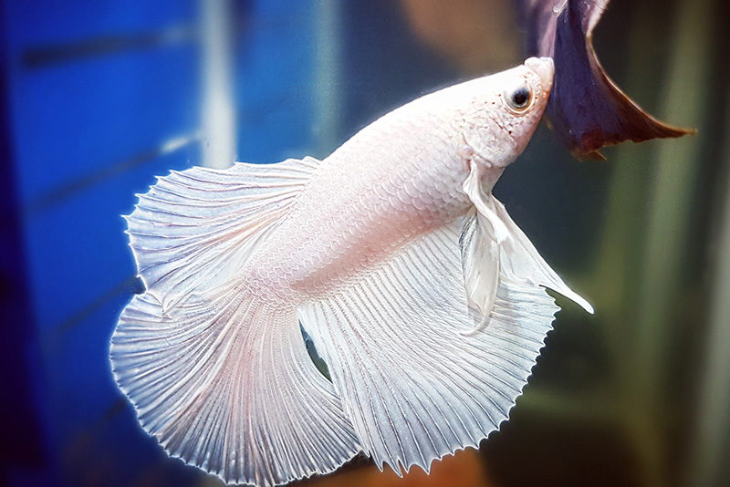 נעים-במים-דגי-נוי-מים-מתוקים21