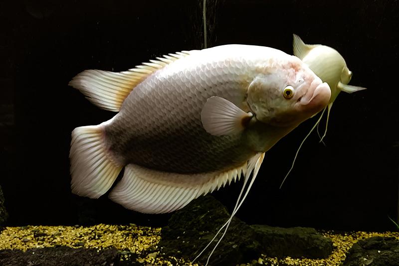 נעים-במים-דגי-נוי-מים-מתוקים24