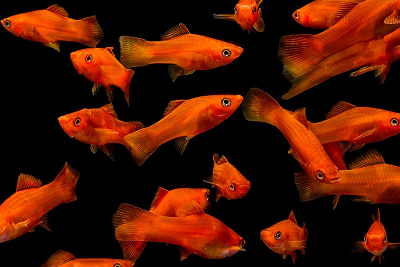 נעים-במים-דגי-נוי-מים-מתוקים6