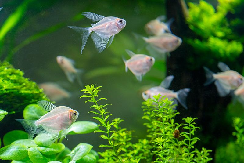 נעים-במים-דגי-נוי-מים-מתוקים9