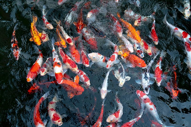 נעי-במים-דגי-נוי-מים-מתוקים-קרים-בריכה3