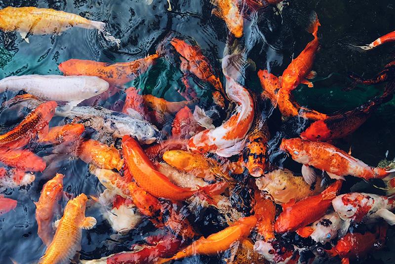נעי-במים-דגי-נוי-מים-מתוקים-קרים-בריכה5