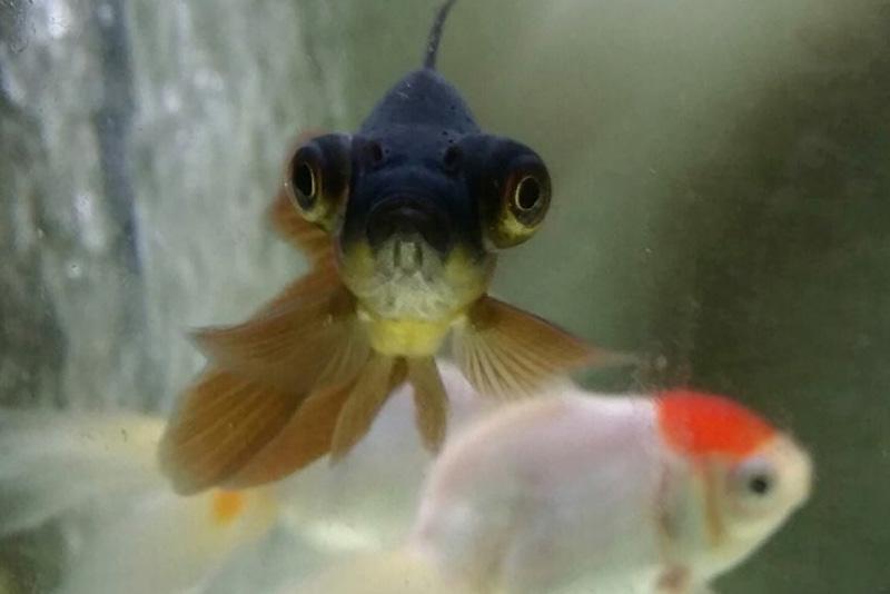 נעי-במים-דגי-נוי-מים-מתוקים-קרים-בריכה8
