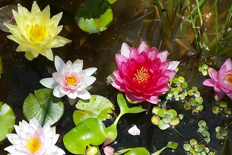 צמחי-בריכה-חוות-דגים-נעים-במים11