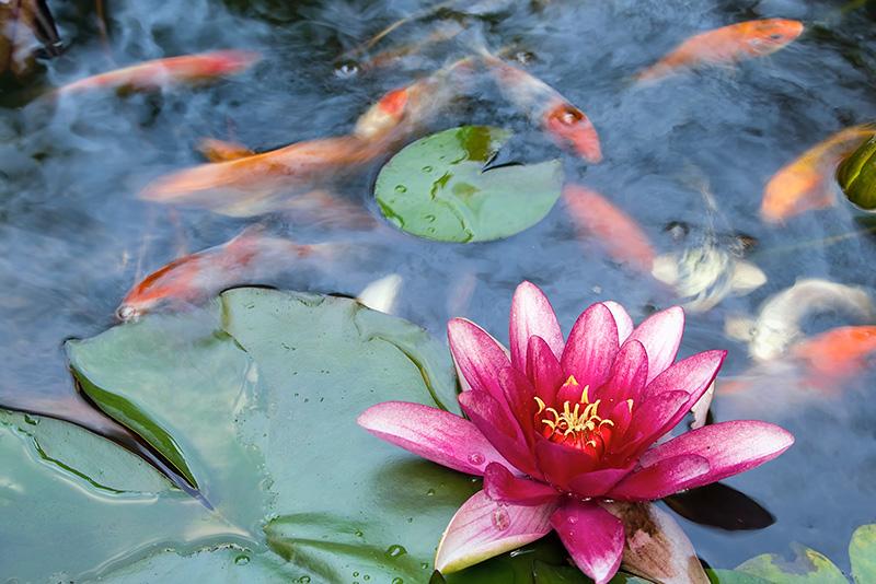 צמחי-בריכה-חוות-דגים-נעים-במים3