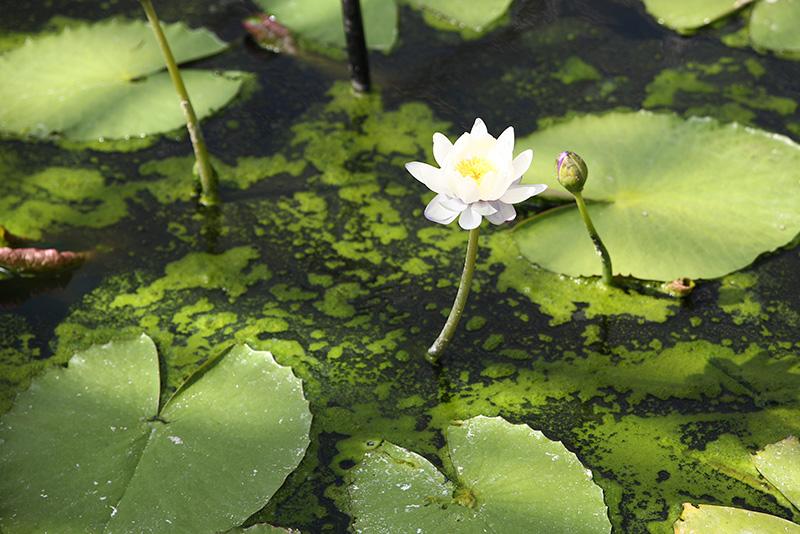 צמחי-בריכה-חוות-דגים-נעים-במים6