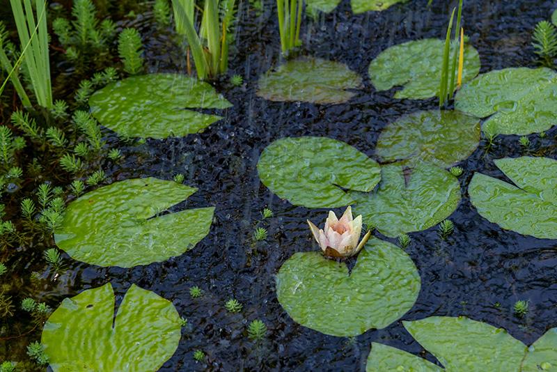 צמחי-בריכה-חוות-דגים-נעים-במים9