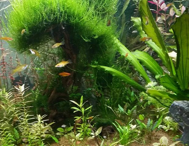 aquarium-plants10