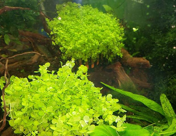 aquarium-plants20