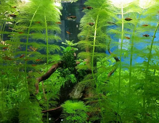 aquarium-plants29