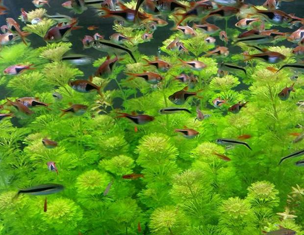 aquarium-plants3