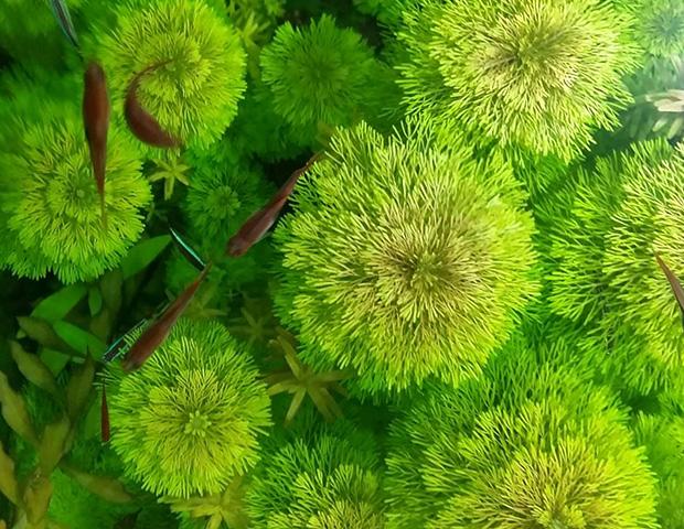 aquarium-plants30