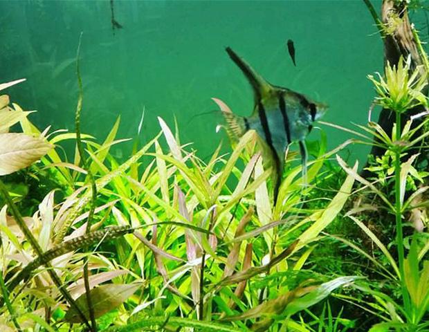 aquarium-plants33