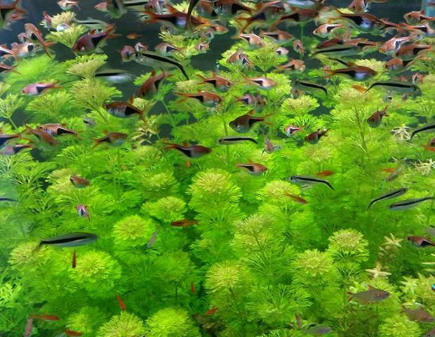 aquarium-plants37