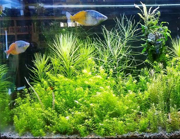 aquarium-plants4