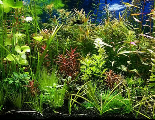 aquarium-plants5