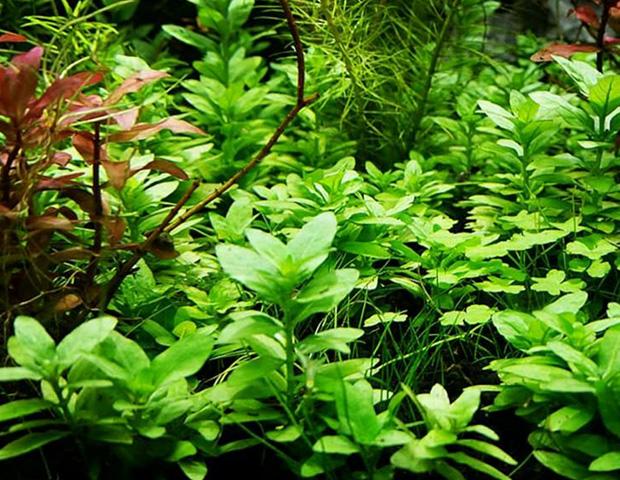 aquarium-plants6