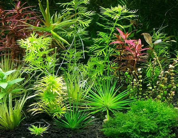 aquarium-plants7