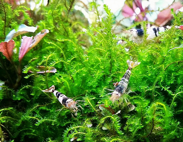 aquarium-plants8