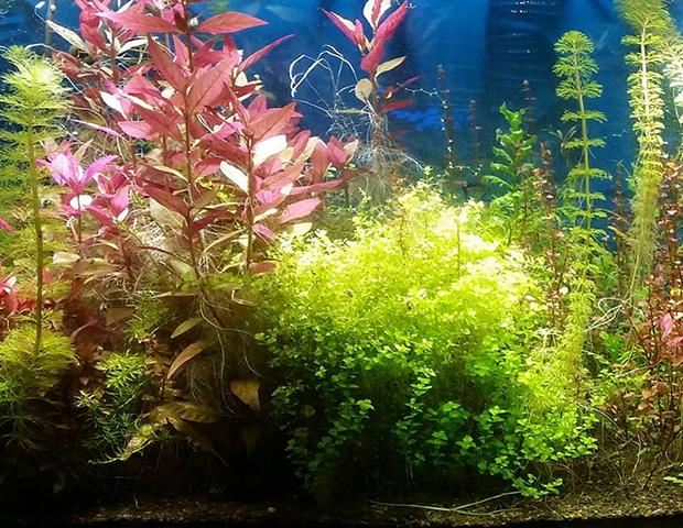 aquarium-plants9